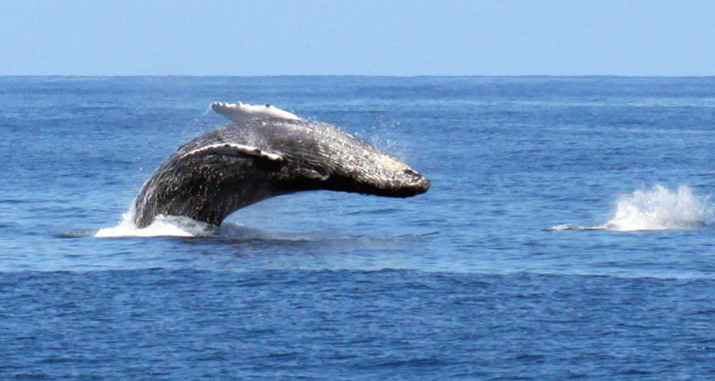 humpback-whale-kauai